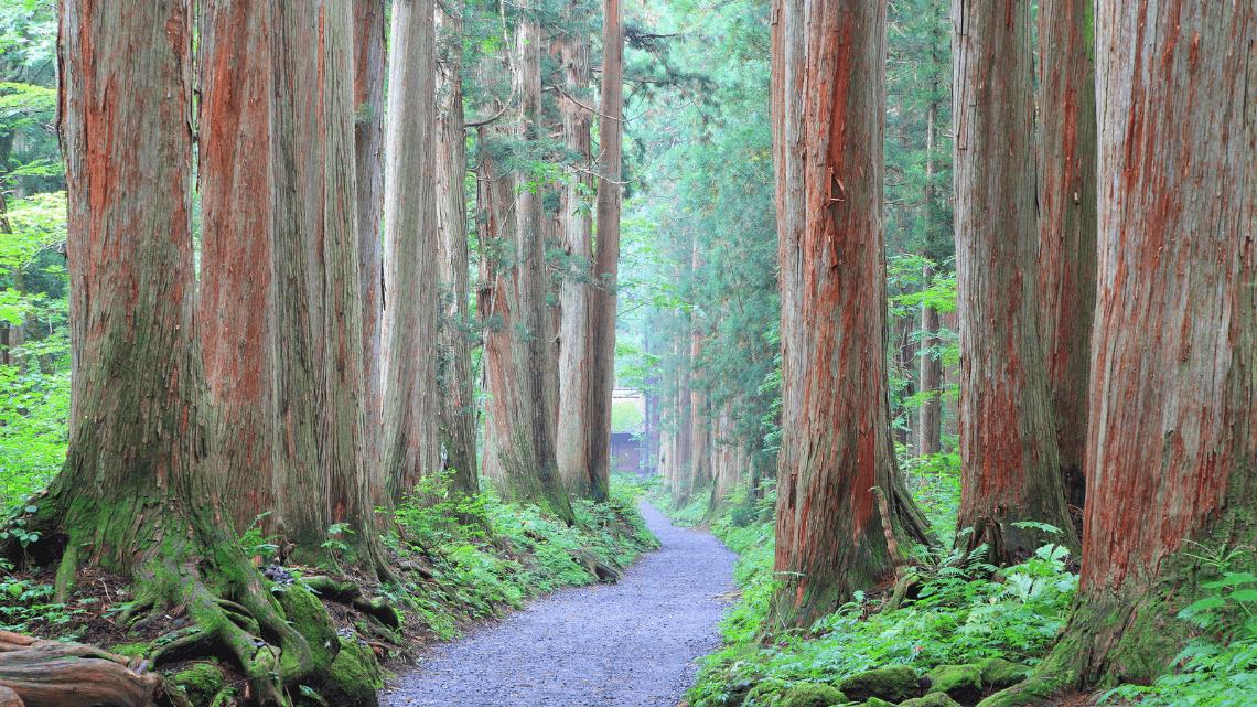 Cedar Avenue at Togakushi Jinja (shrine) in Nagano, Japan