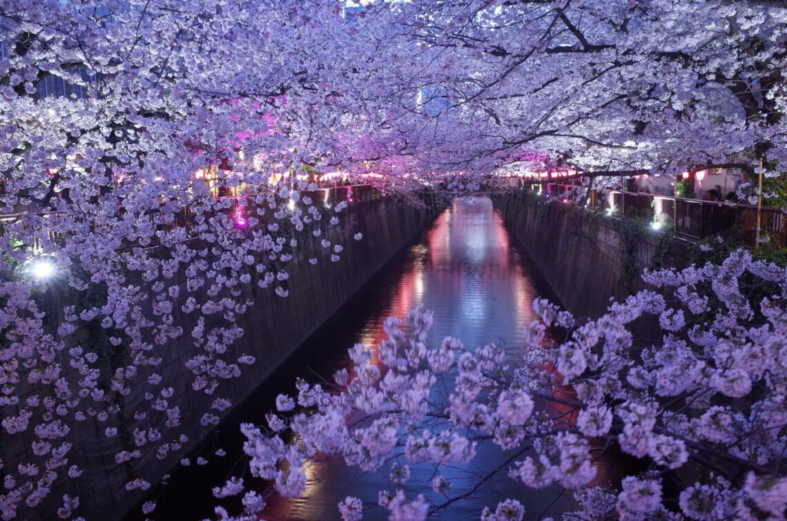 Cherry blossoms in Tokyo's Naka-Meguro neighborhood
