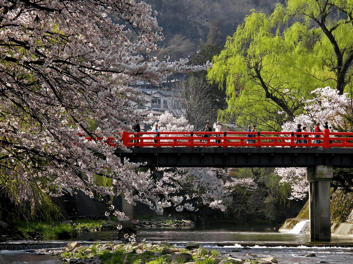 Cherry blossoms in spring at Nakabashi Bridge, Takayama, Japan
