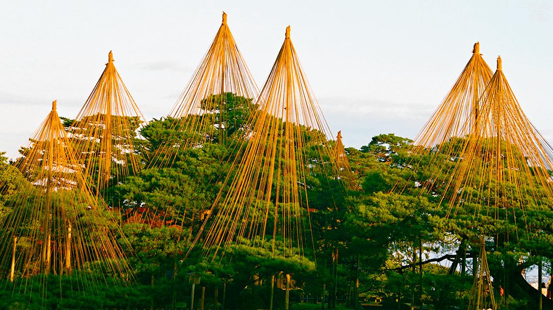 Karasaki pine tree at Kenrokuen Garden, Kanazawa, Japan