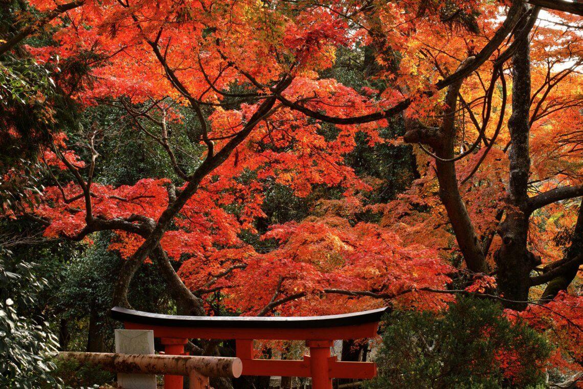 Japanese Maple at Taisan-ji, Kobe, Japan