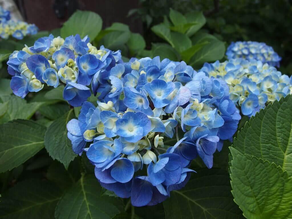 blue hydrangea bush in japan rainy season flower viewing