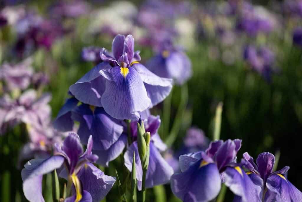 iris field in Japan