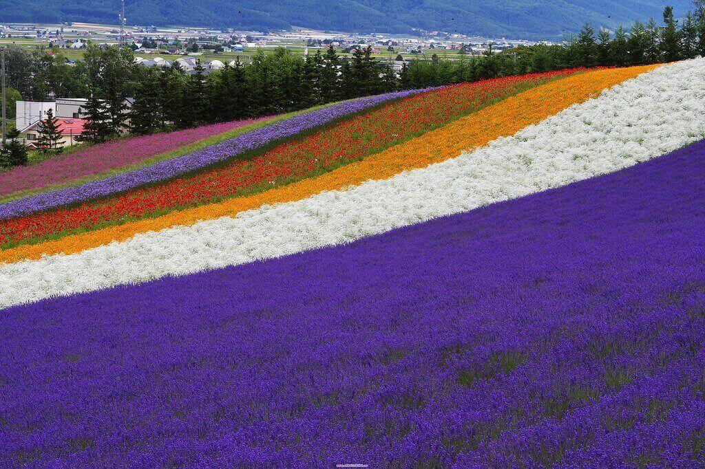 lavender at Shikisai hill in Hokkaido, Japan