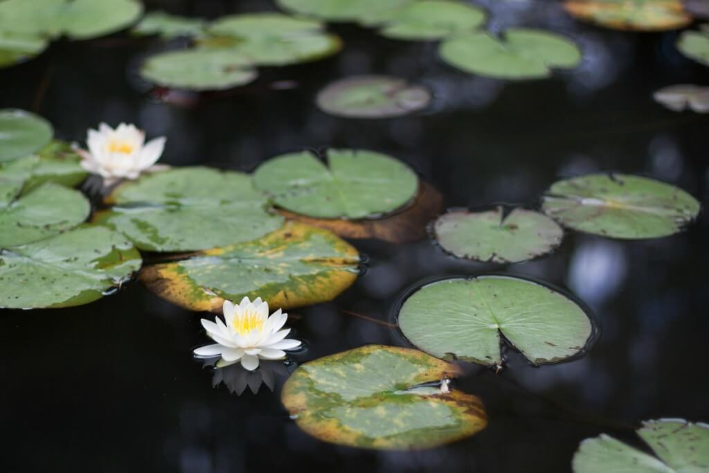 white lotus in japan