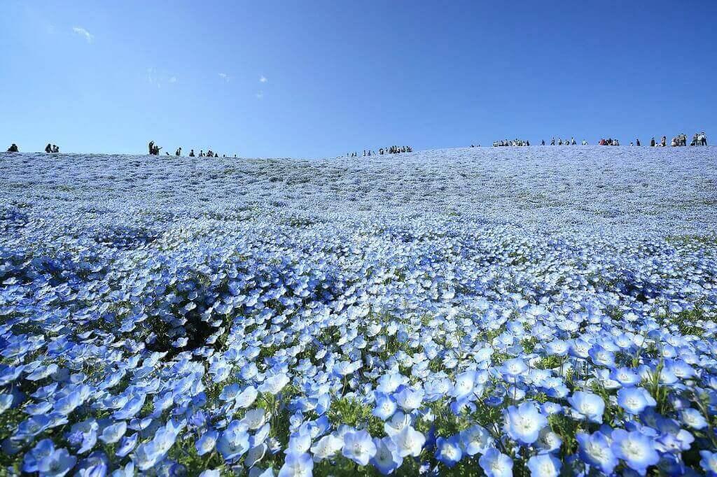 crowds gathering in nemophila field in Japan for flower viewing