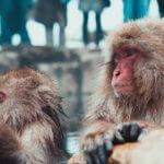Snow Monkeys Japanese Macaques Jigokudani Yaen Koen Nagano Alps Japan